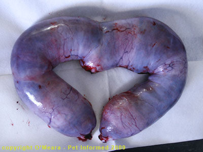 Stage of cat pregnancy - the pregnant uterus at 8 weeks gestation.