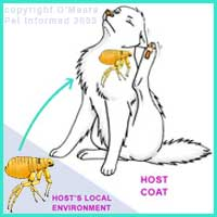 Flea Life Cycle 7 - The adult male and female fleas jump onto the host animal to feed, mate and lay eggs.