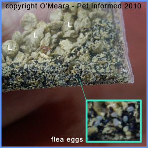 This is a picture of flea eggs as they appear in real life.
