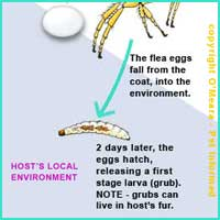 Flea Life Cycle 3 - The flea egg hatches, releasing a first stage (stage 1) flea larva.