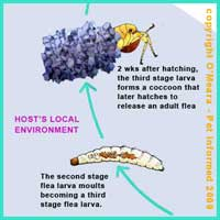 Flea Life Cycle 5 - The final stage flea larva spins a cocoon and becomes a pupa.