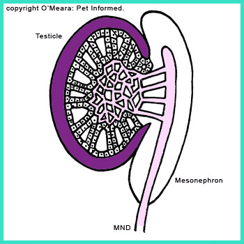 The mature testis. The cords of testicular cells have organised themselves into complex glandular structures capable of producing spermatozoa (sperm) and hormones.