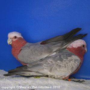 Bird sexing images - a male and a female galah.