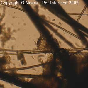 Guinea pig mites pictures - the guinea pig mange mite (Trixacarus caviae).