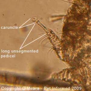 Guinea pig mites images - the leg of the guinea pig mange mite (Trixacarus caviae).