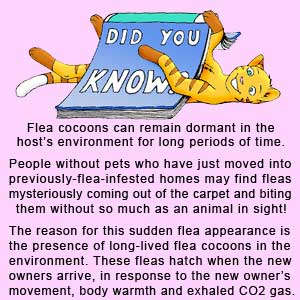 The flea pupa stage of the flea life cycle is very long-lived. It will wait for hosts to appear before hatching.