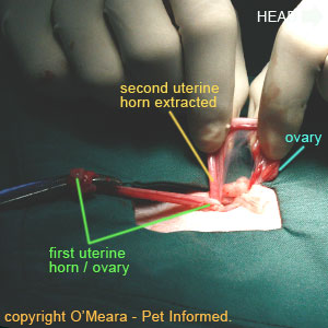 Spaying cats - The second uterine horn is lifted up and drawn out through the cat's abdominal spay incision line.