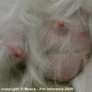 The pregnant dog has massive mammary glands.