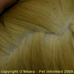 Severe lice infestation of a cat's fur.