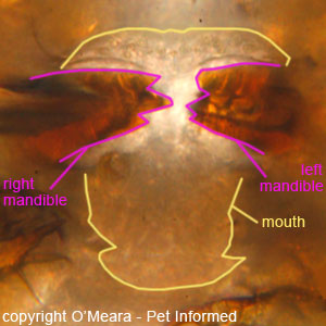 Lice pictures - This is a close-up photograph of the mouth-parts of a chewing louse.