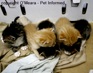 A lovely litter of 3-week-old kittens: four boys and one girl.