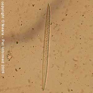 Faecal float parasite pictures - cat lungworm larvae.