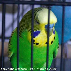 Bird sexing images - a mature male budgie has a blue cere.