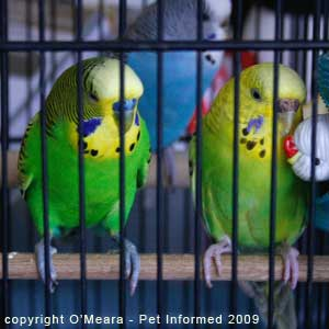 Parakeet sexing picture - The male parakeet (left) is larger in size, with a bigger head, than the female next to him (right).