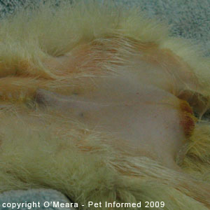 Sexing ferrets pictures - a male ferret.