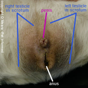 Guinea pig gender pictures - These are photos of the genitals of a male guinea pig. The lateral positioning of the enormous guinea pig testicles makes the entire genital and anal region of the male guinea pig appear to bulge outwards.