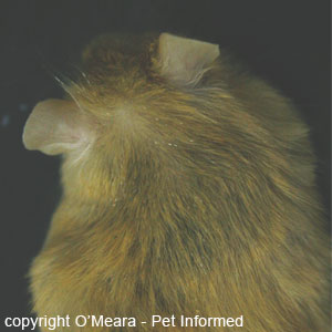 Mouse louse pictures - The lice eggs or nits can now start to be seen on the mouse's fur as chains of white ovals located along the shafts of a few of the hairs.