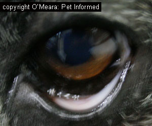 Examining the conjunctiva (which is normally pink) is a useful way of assessing the mucous membrane (gum) colour of an animal with very black, darkly pigmented gums.