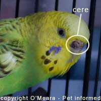 This is a sexing parakeets photo showing the location of the cere.