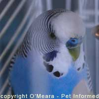 Parakeet Sexing Pictures - A lovely blue-nosed boy.