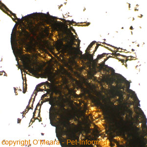 Picture of lice - This is the head of Damalinia, the biting louse of the horse (horse lice).