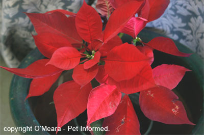 Poinsettia (Euphorbia) can be planted to repel rat and mouse pests.