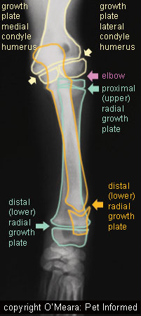 This image is the same as that on the left (puppy foreleg bones), but I have labeled the growth plates, bones and joints for better understanding.