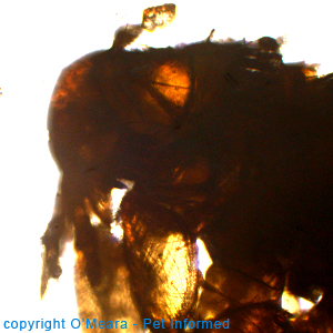 Pictures of fleas - Spilopsyllus - the rabbit flea.