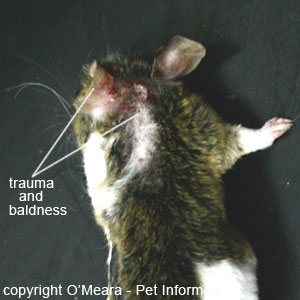 Mouse lice pictures - Scratching and skin trauma should be a clue for owners to have a close look through their pet's coat for lice or nits.