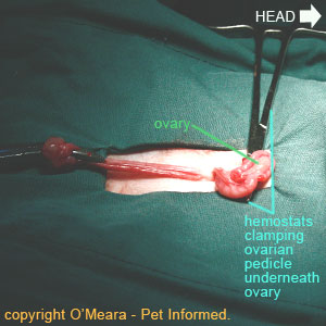 Desexing female cats - The second ovarian pedicle is clamped off above the level of the ovary.