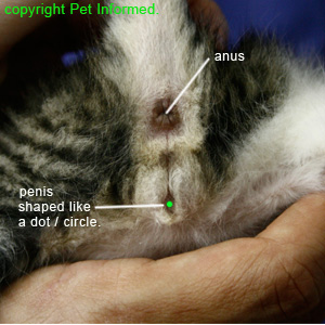 Sexing kittens - male kitten genitalia is shaped like a dot.
