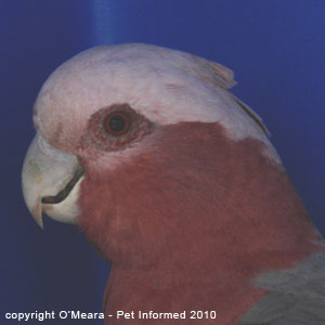 Bird sexing images - a female galah has a red iris.