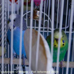 Sexing parakeets - male budgies have blue feet and toes and female budgerigars have brown or pink feet and toes.