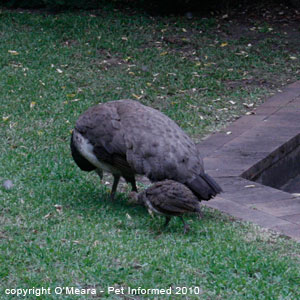 Sexing birds images - a female peafowl or peahen.