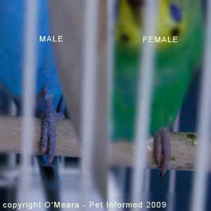 Sexing parakeets - male parakeets have blue feet and toes and female parakeets have brown or pink feet and toes
