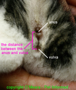 Female kitten sexing - image of female cat genitalia.