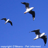 Sexing birds - Male silver gulls have stouter bills.