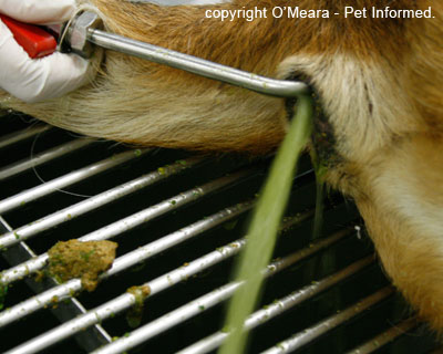 This is an image of a dog undergoing a manual enema to remove a poison (e.g. snailbait, rodenticide poison). The vet or nurse is washing the rectum gently with warm water to make the bait-laden faeces come out. The water coming out of the animal's rectum is bright green: this is the dye used in the poison.