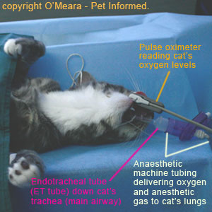 During a spaying procedure, the pregnant cat is placed under anesthetic so that it will not feel pain whilst the spay surgery is being performed.
