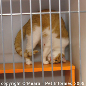 Female Cat in Heat - signs, symptoms and behavioral changes of ...