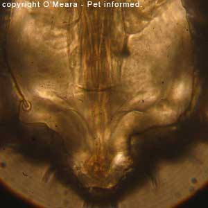 Lice photos - This is a picture of the sucking louse's mouth.