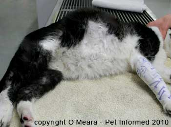 A swollen belly similar to cat pregnancy signs occurring in a cat with FIP fluid accumulation in its abdomen.