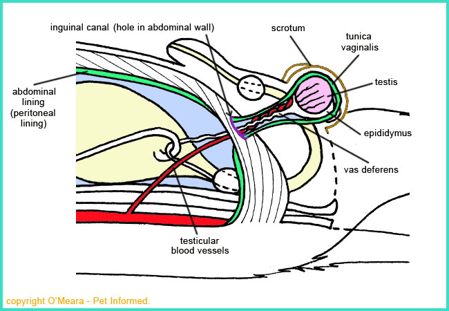The reproductive and vascular anatomy of the entire male dog as it pertains to desexing surgery.