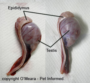 This is a picture of two canine testicles that have been removed by
