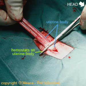 Spaying cats image - The two uterine horns are pulled caudally and the uterine body is clamped with hemostats.