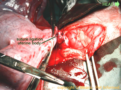 Pregnant cat spay image - the uterine body is double-ligated.