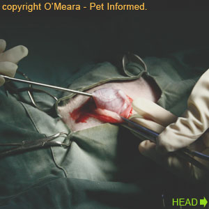 Pregnant feline spay procedure - A spay hook is inserted into the cat's abdominal cavity to hook and draw up the first uterine horn.