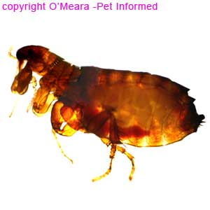 Flea pictures - this is a microscope image of an adult Ctenocephalides flea.