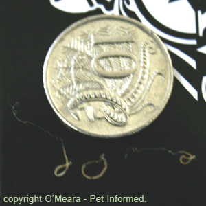 Dog whipworms compared to an Australian ten cent piece.