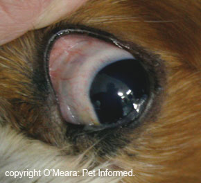 Image showing the conjunctival membranes of a normal dog eye. These can become infected in distemper, leading to nasty conjunctivitis. The eye discharge that results contains infective distemper organisms.